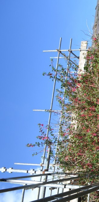 large fuschia bush amongst scaffolding